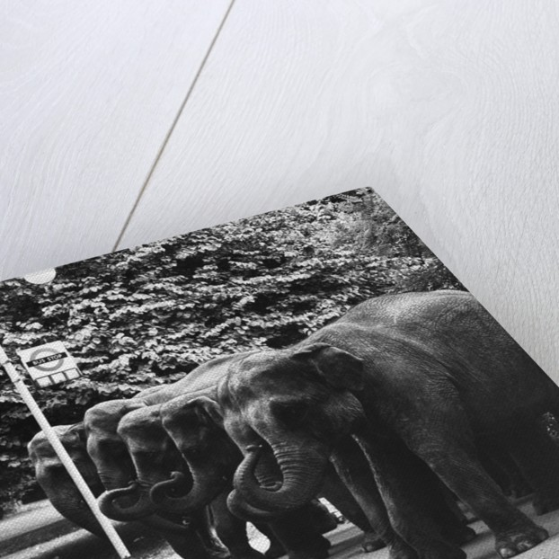 Elephants Queue at Battersea Park Bus Stop by Corbis
