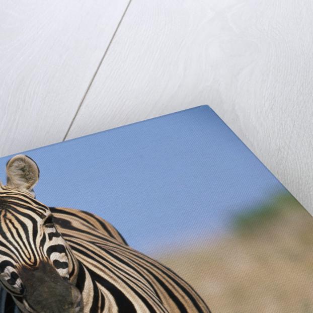 Burchell's Zebra by Corbis