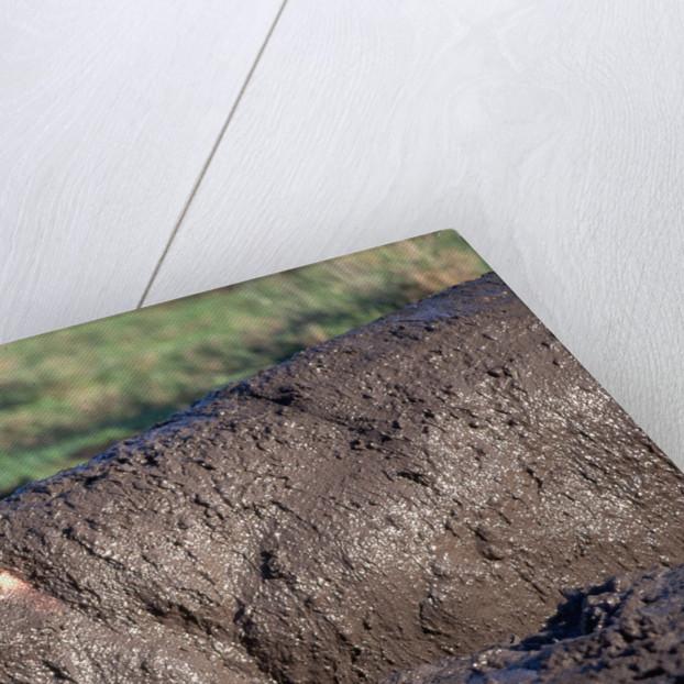 Hippopotamus Wallows in Mud by Corbis
