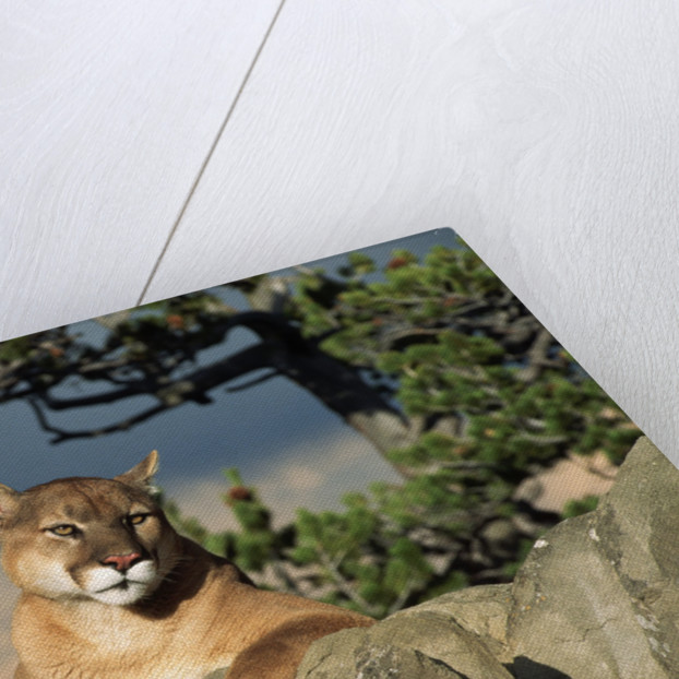 Cougar Resting on Rocks by Corbis
