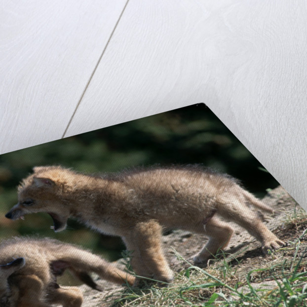 Coyote pups determining dominance. Rocky Mountain foothills by Corbis