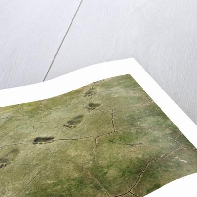 Brown Bear Tracks by Corbis