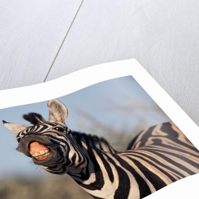 Plains Zebra Baring Its Teeth by Corbis