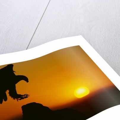 Golden Eagle Silhouette at Sunrise by Corbis