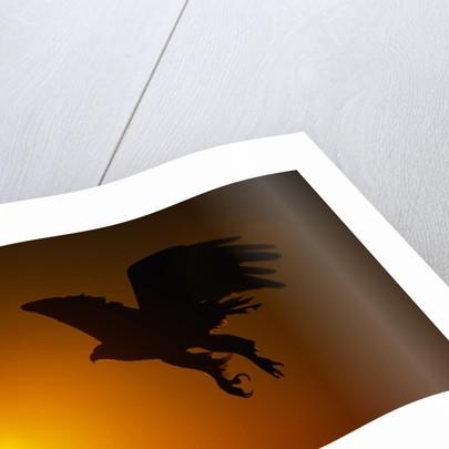 Golden Eagle Flying at Sunrise by Corbis