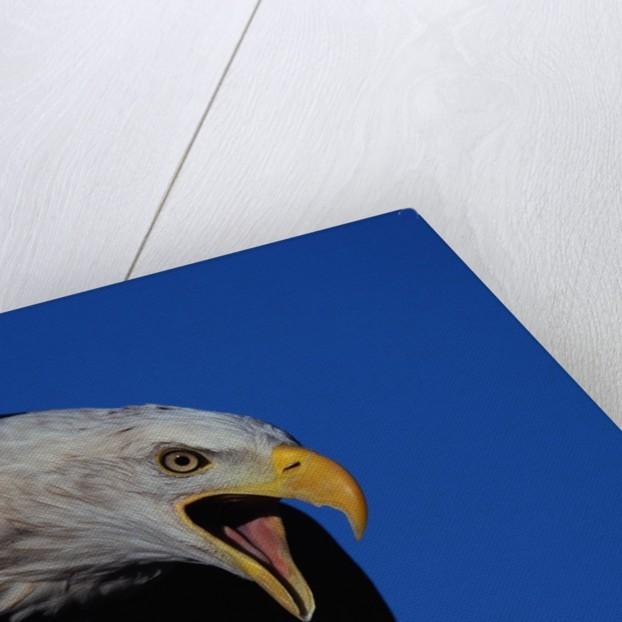 Bald Eagle by Corbis