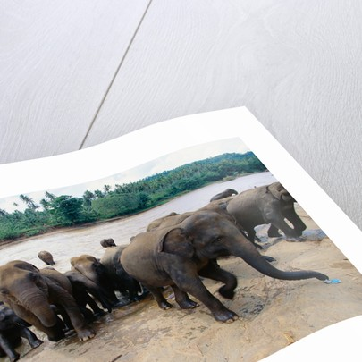 Elephants Bathing at Pinnewala Orphanage by Corbis