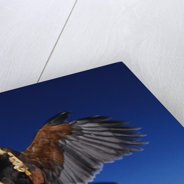 Harris' Hawk Returning to Falconer by Corbis