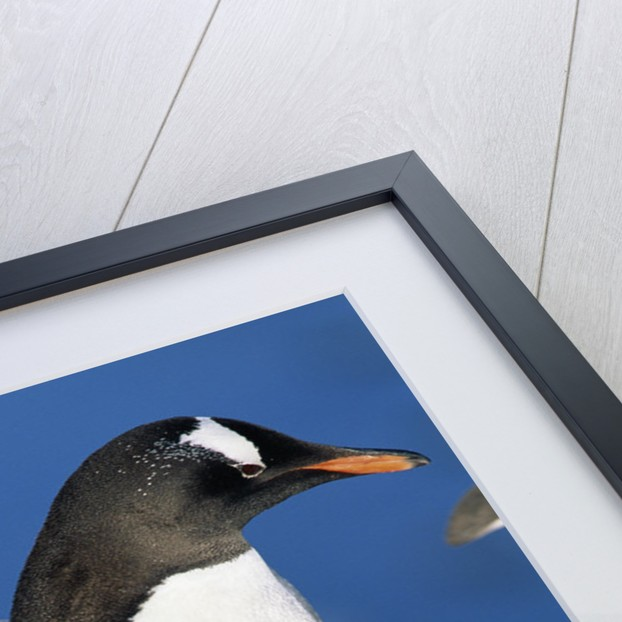 Gentoo Penguin Stretching Wings by Corbis