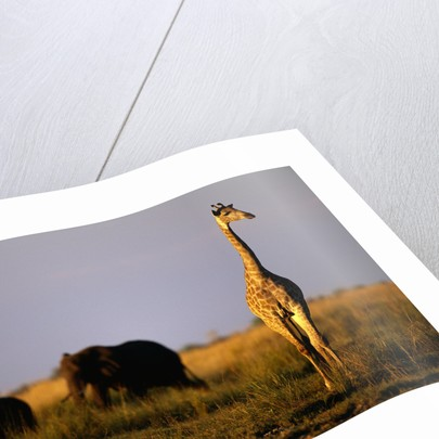 Giraffe Standing Near Elephant Herd by Corbis
