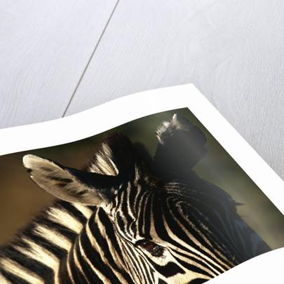 Close-up of Plains Zebra by Corbis