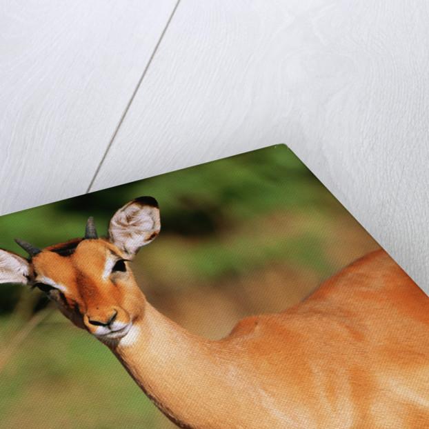 Alert Male Impala by Corbis