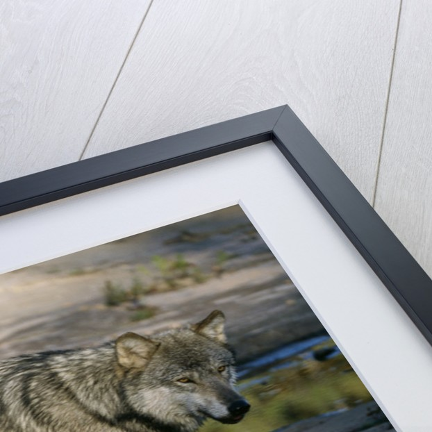 Grey Wolf and Reflection in Water by Corbis