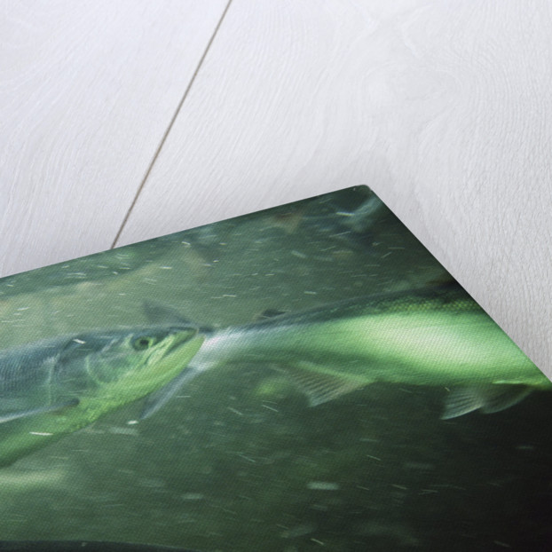 School of Sockeye Salmon Spawning by Corbis