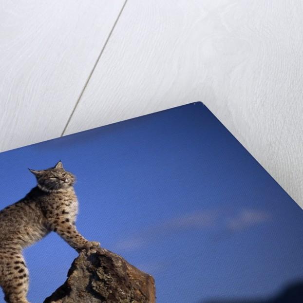 Bobcat Perched atop Rock by Corbis