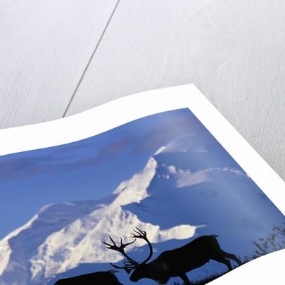Caribou Grazing Near Wonder Lake Below Mt. McKinley by Corbis