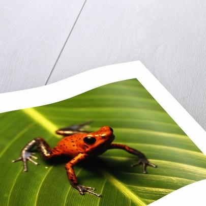 Strawberry Poison Arrow Frog by Corbis