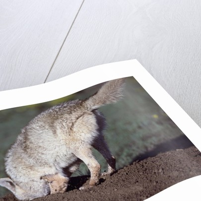 Coyote Digging in Prairie Dog Hole by Corbis