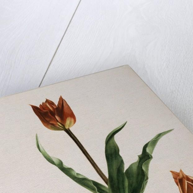 Flora Napolitana by Michele Tenore