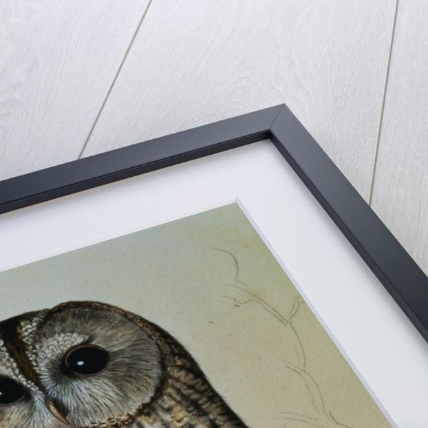 Brown Owl (Strix Ulula) by Reverend Christopher Atkinson