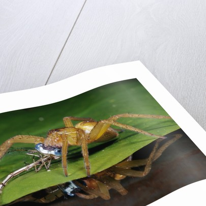 Six-Spotted Fishing Spider Eating Damselfly by Corbis