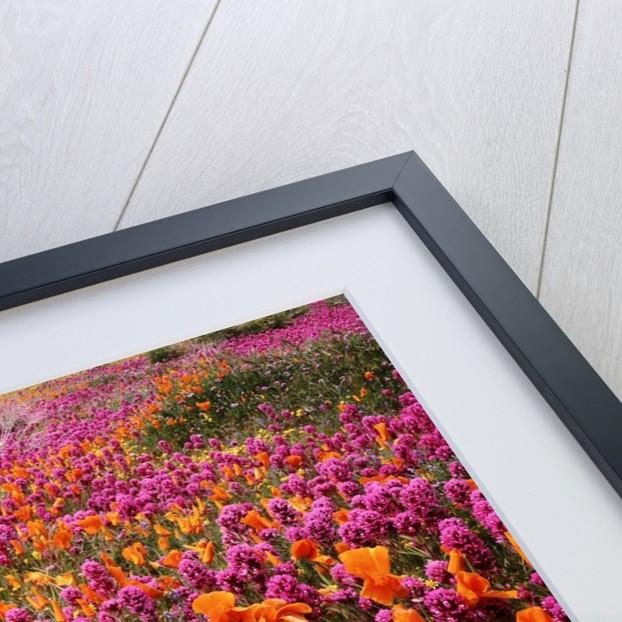 Poppy field - Antelope Valley, California by Corbis