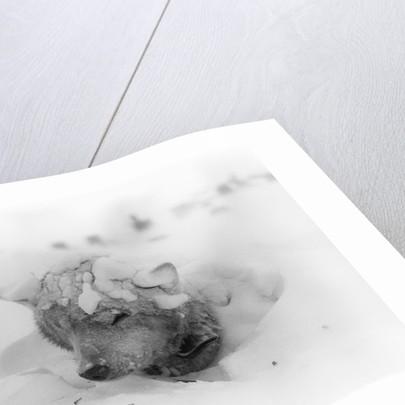 Frozen Sled Dog by Corbis