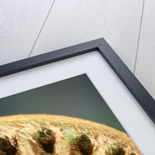 Close-up of Fern Fiddlehead by Corbis