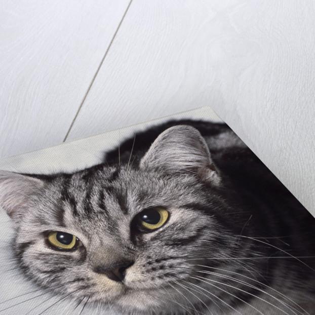 Grey Tabby Cat by Corbis