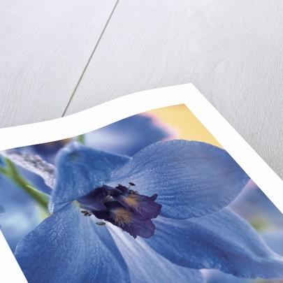 Blooming Delphinium by Corbis