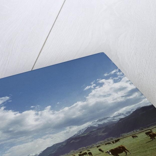 Cattle grazing on farmland by Corbis