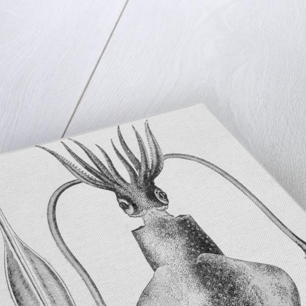 Illustration of a Squid, Loligo vulgaris by Corbis