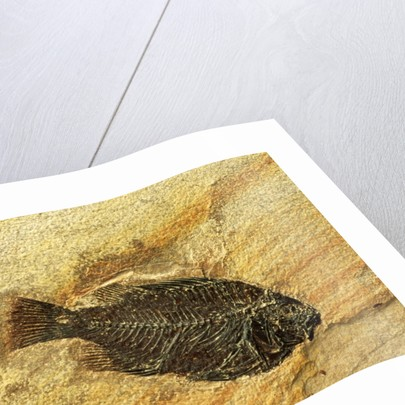 Fossil Fish by Corbis