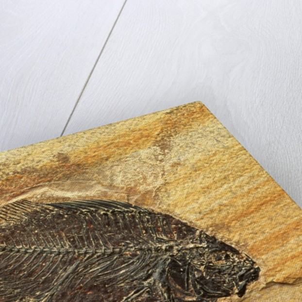 Fish Fossil by Corbis