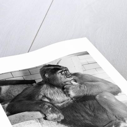Gorilla by Corbis