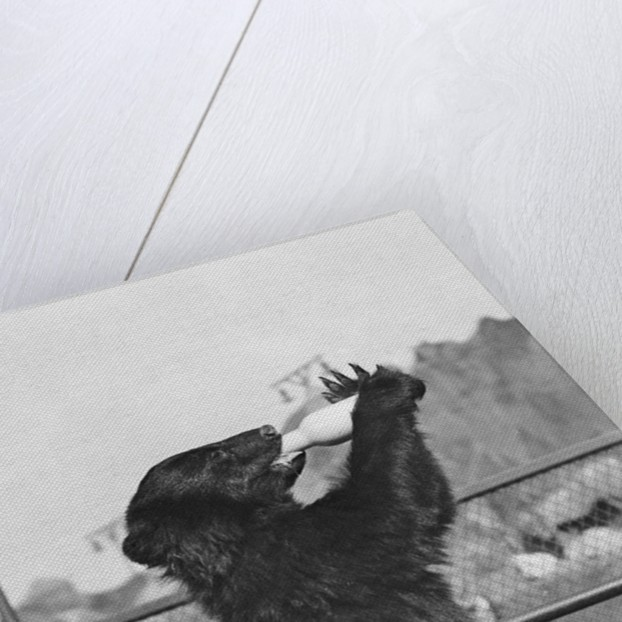 Bear Drinking from Bottle by Corbis