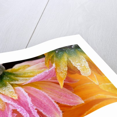 Frost on Dahlia Petals by Corbis