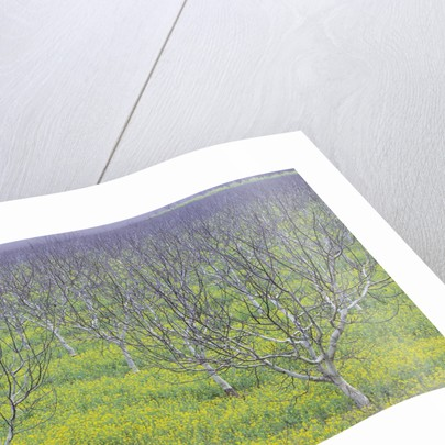 Almond Grove and Wild Mustard Plants by Corbis