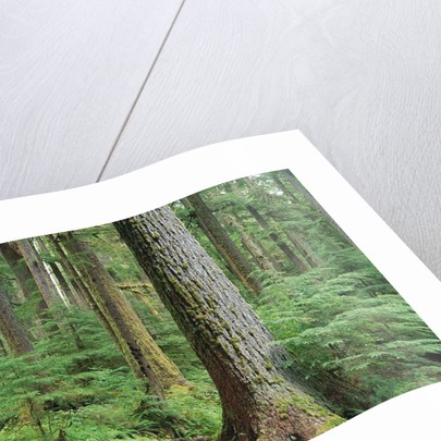 Forest of Old Growth Douglas Firs by Corbis