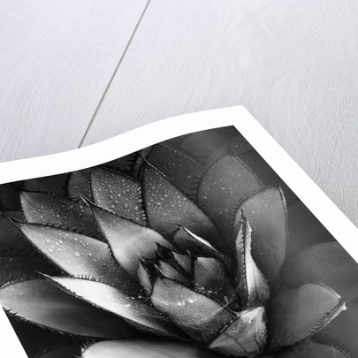 Century Plant by Brett Weston