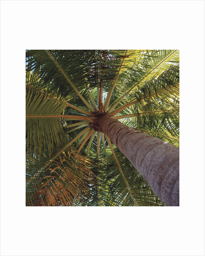 View from underneath a palm tree by Corbis
