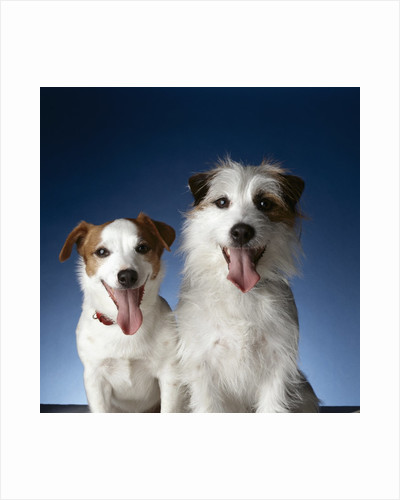 Two dogs sticking out their tongues by Corbis