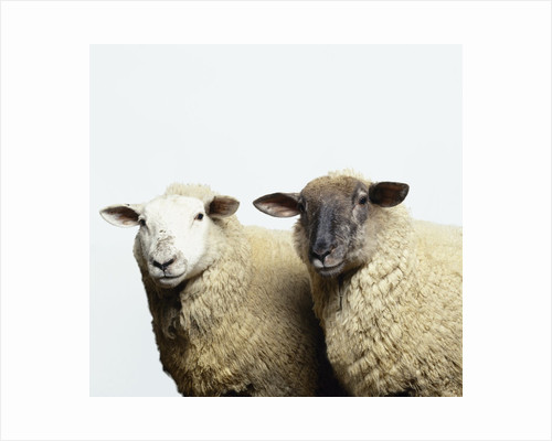 Sheep Standing Side by Side by Corbis