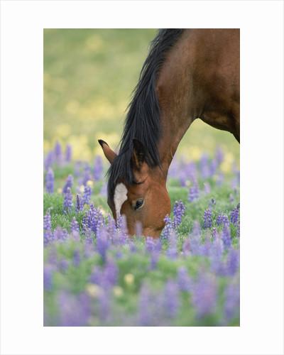 Wild Stallion Grazing in Flowers by Corbis