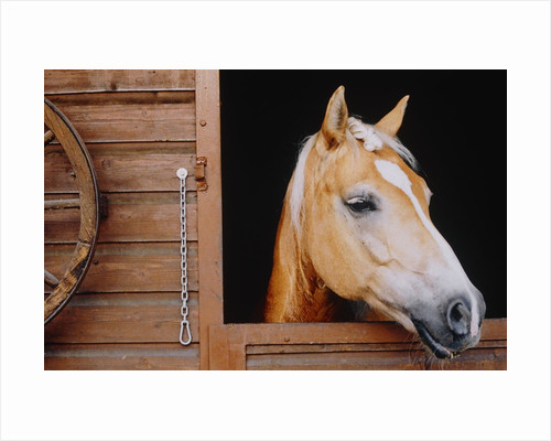 Horse sticking head out stable window by Corbis