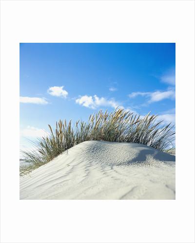 Sand dune with beach grass, (Eiderstedt), Schleswig-Holstein, Germany by Corbis
