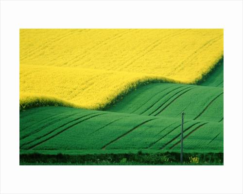 Rape field beside green field by Corbis
