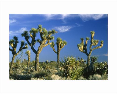 Some Joshua trees in the Joshua Tree national park, california (USA) by Corbis