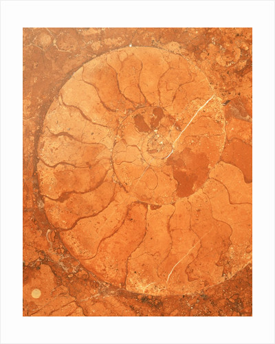 Fossil in red-brown marble by Corbis