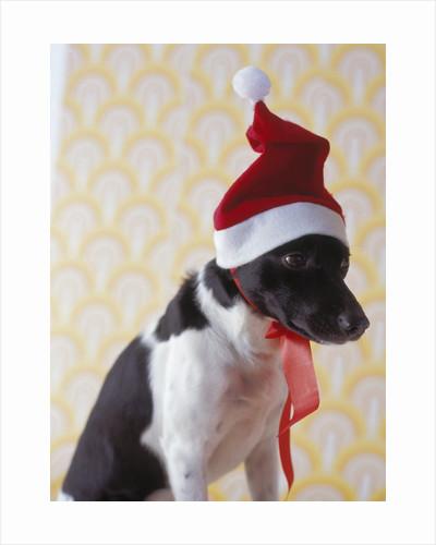 Dog Wearing Santa Hat by Corbis